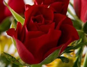 Bulharská ruža