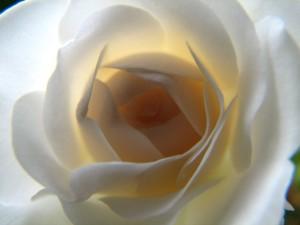 Damašková ruža