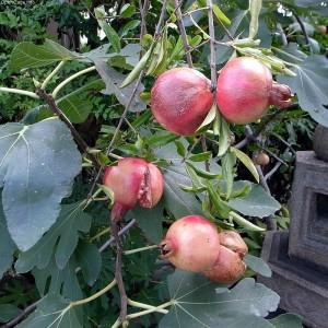 Strom granátové jablko